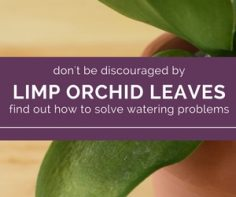 Learn-how-to-fix-limp-orchid-leaves.jpg