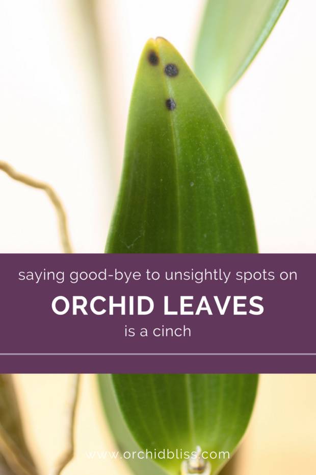 This-totally-worked-the-black-spots-on-my-orchid-leaves-are-gone - treat orchid pests and disease