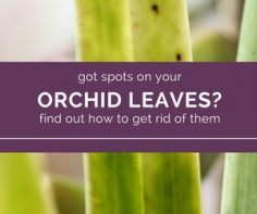 Use-Household-products-to-get-rid-of-spots-on-orchid-leaves.jpg