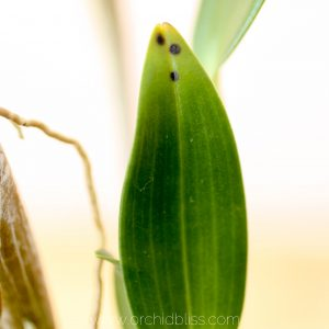 treat spots on orchid leaves