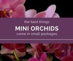 Mini-Orchids-have-it-all-tons-of-flowers-and-easy-care.jpg
