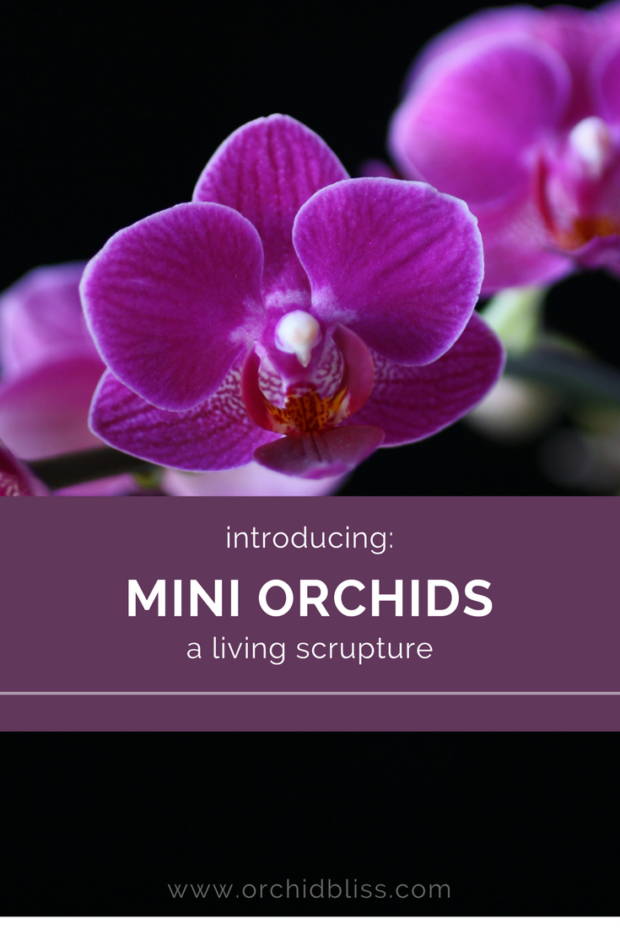 Read-article-to-find-out-why-mini-orchids-are-easy-care-and-long-lasting.png