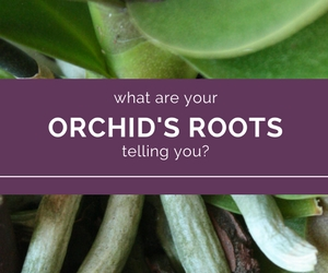 Unlock-the-Mystery-of-Orchid-Roots.jpg