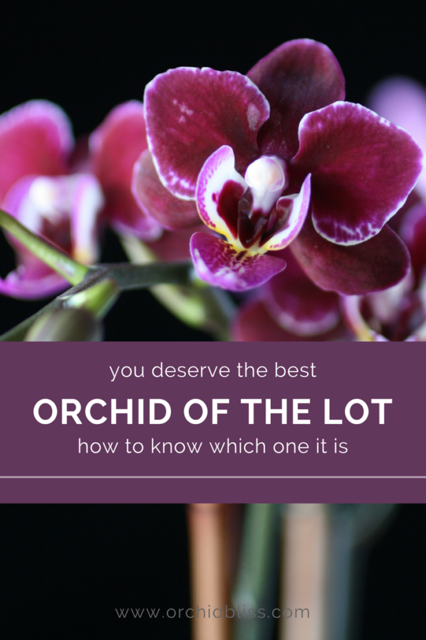 Tips on choosing an orchid. How to get the best orchid of the lot.