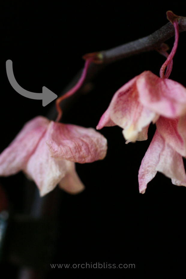 trim-the-orchid-spike-to-promote-reblooming.png