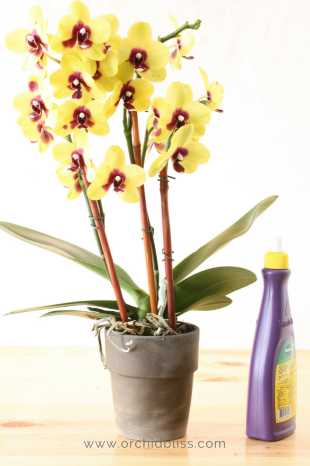 Learn How To Rebloom Orchids Step By Step Orchid Bliss