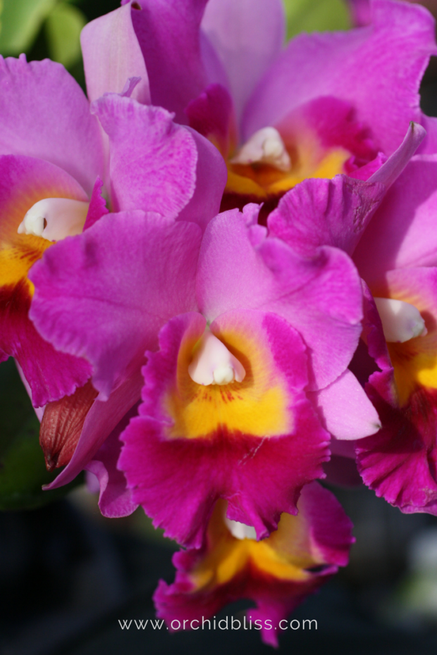 I-love-cattley-orchids-Thanks-for-sharing-your-orchid-photos.png
