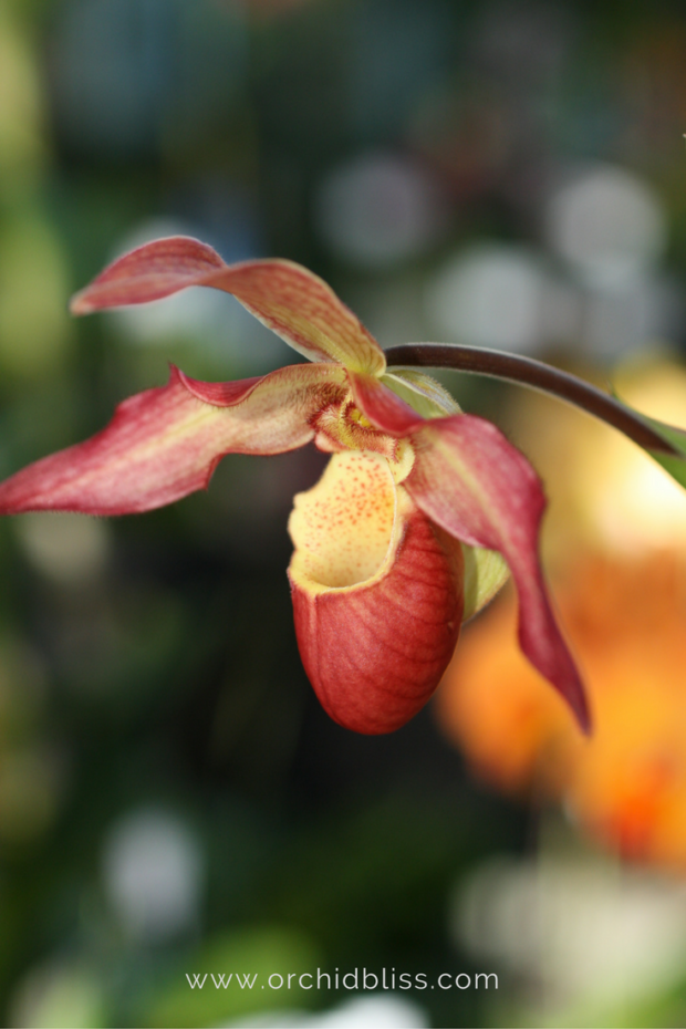 Orchid-Bliss-is-my-favorite-site-check-it-out-for-great-tips-on-caring-for-orchids.png