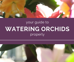 An-Orchid-Properly-Watered-Is-an-Orchid-Saved.jpg
