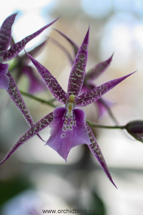 Aspasia easy growing orchid