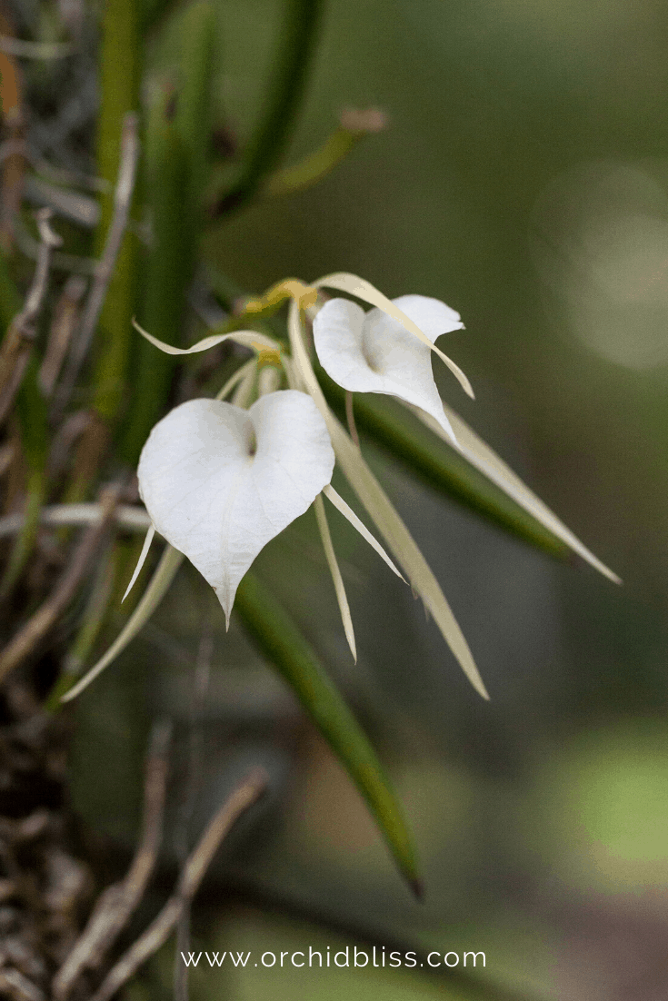 brassavola orchid - starter orchid