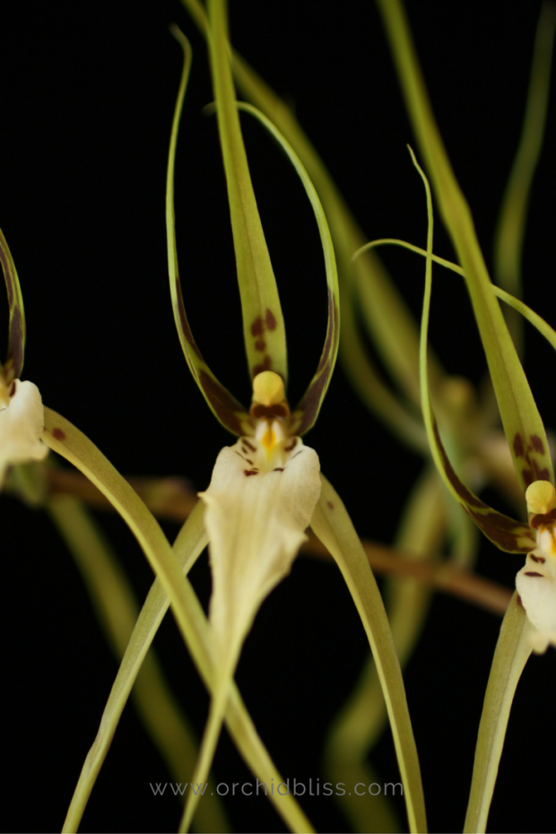 brassia-spider-orchid-pollinate.png