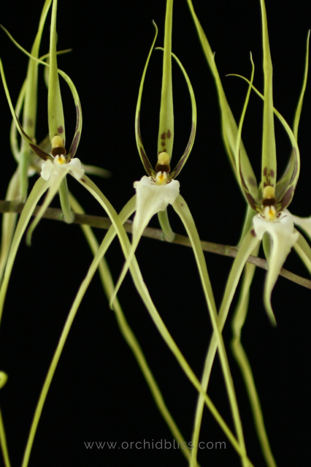 brassia-the-spider-orchid-happy-in-the-house