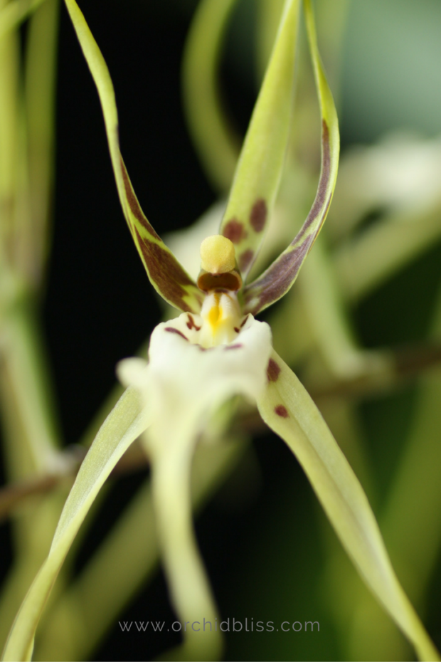 brassis-orchid-selecting-an-orchid.png