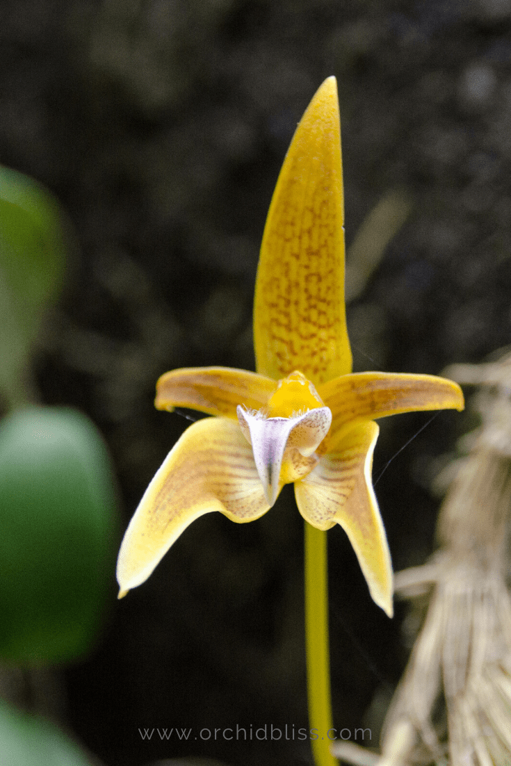 bulbophyllum - easy orchid