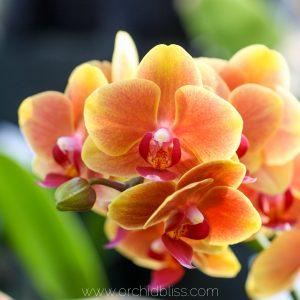buy best orchids