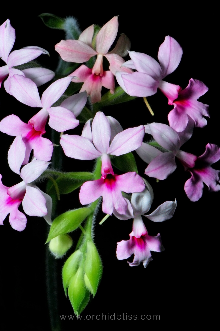 calanthe - beginner orchid