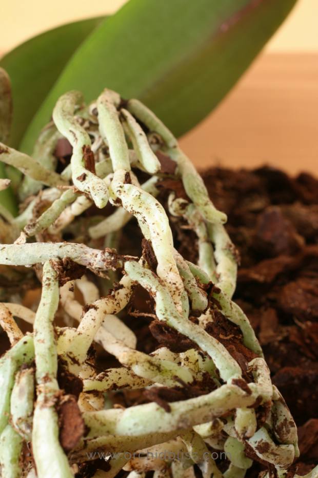 trim-away-dead-roots-orchids-reptted.png