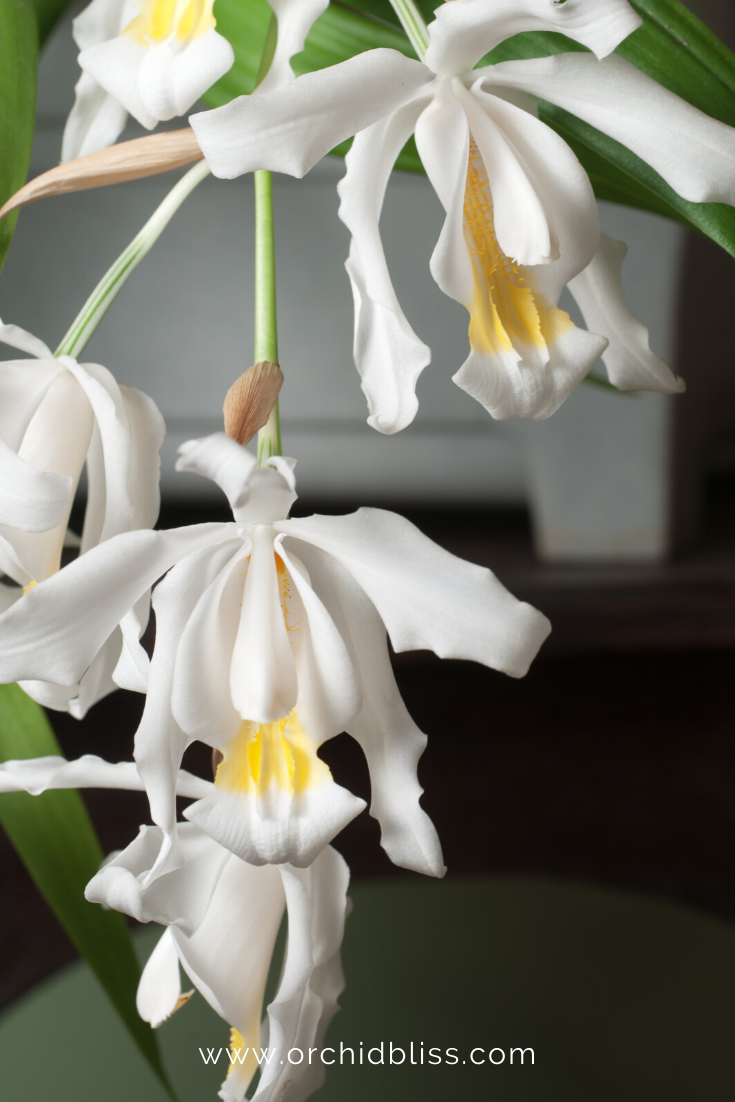 coelogyne cristata - beginner orchid