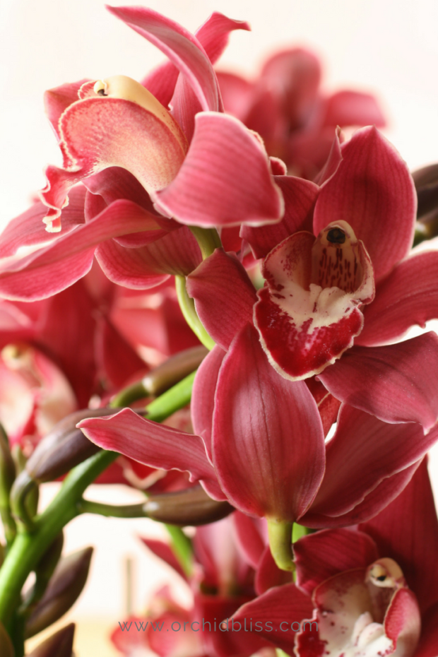 cymbidium-orchid-for-your-house.png
