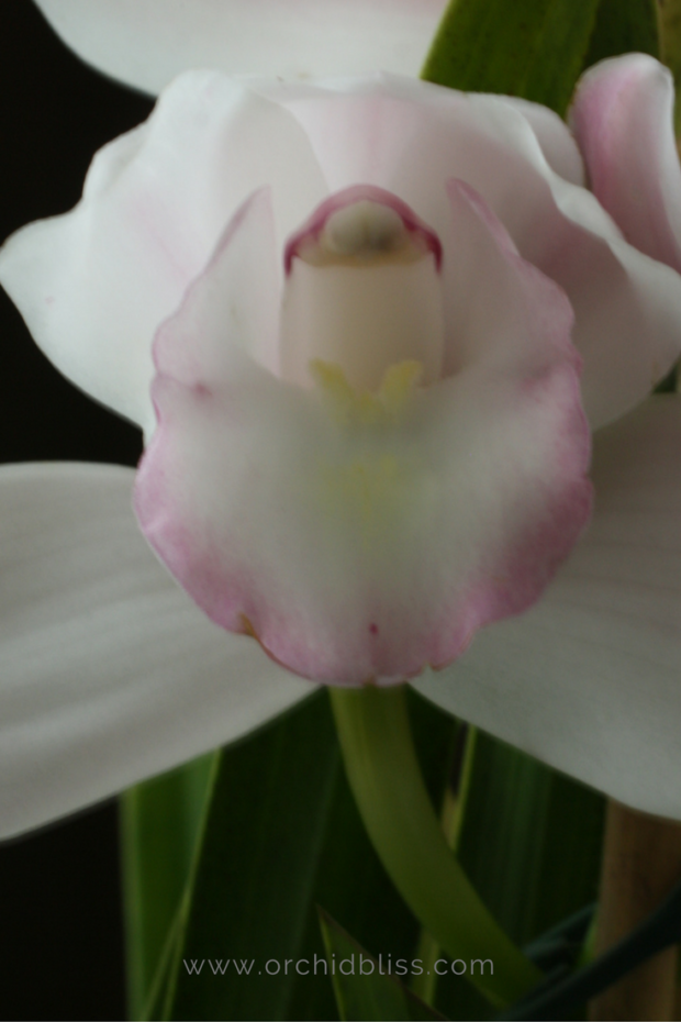 cymbidium-orchid-picking-an-orchid.png