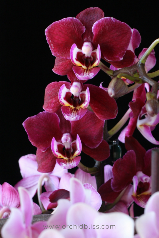deep-burgundy-mini-orchid-mini-orchid-care.png