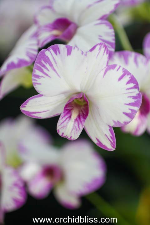dendrobium enobi purple splash- starter orchid