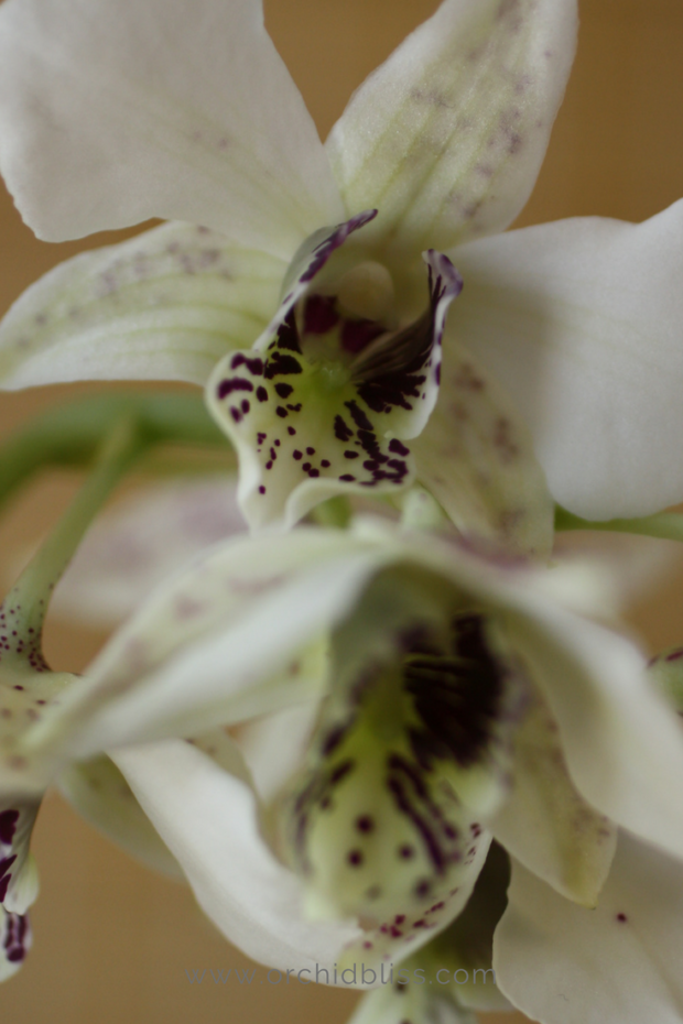 dendrobium-house-happy-orchid