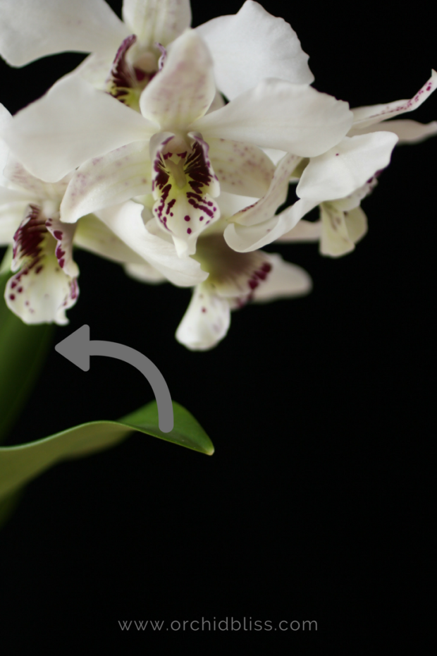 Find Out Where To Trim An Orchid Stem To Promote Reblooming