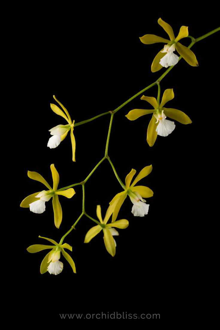 encyclia tempensis - easy to grow orchid