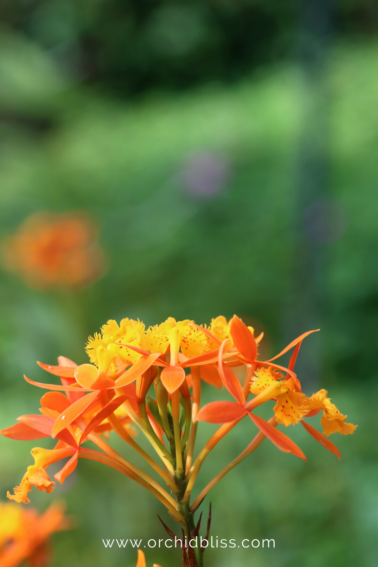 epidendrum cinnabariunum - beginner orchid