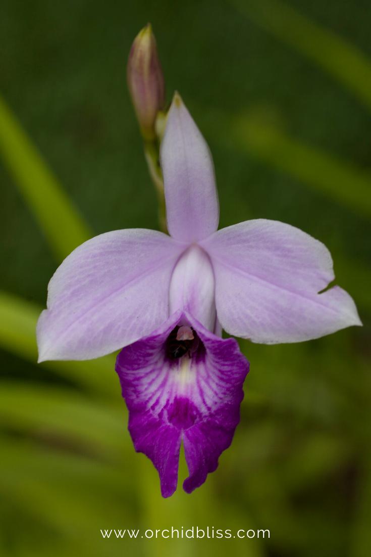 laelia - beginner orchid