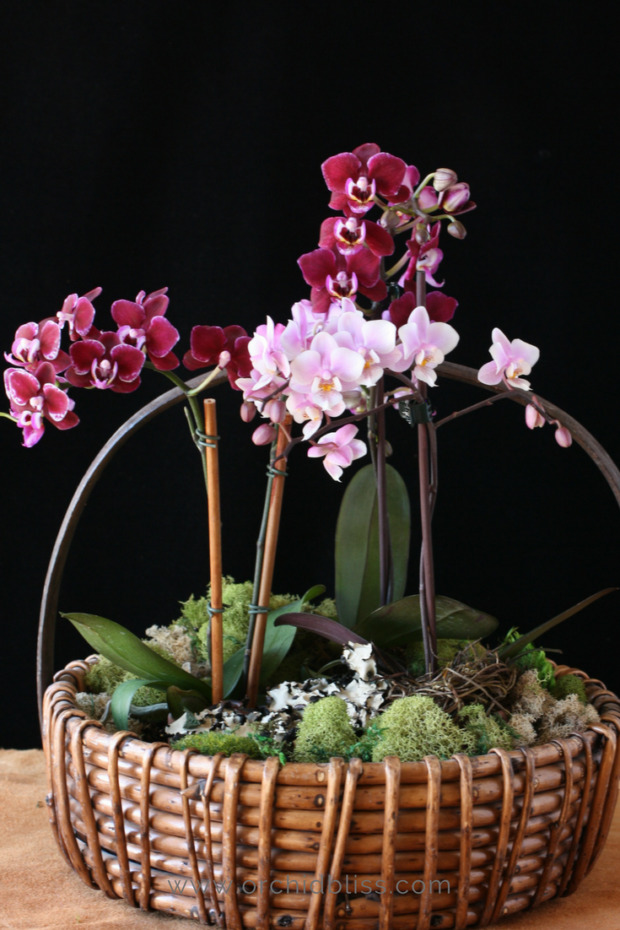 mini-orchids-in-a-basket-caring-for-mini-orchids.png