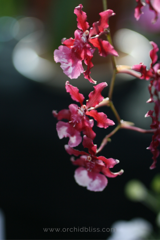 oncidium-sharrybaby-5-fun-facts-about-orchids.png