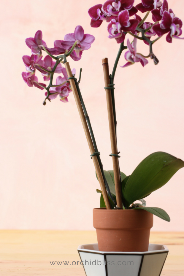 orchid-in-saucer-planter-orchids.png
