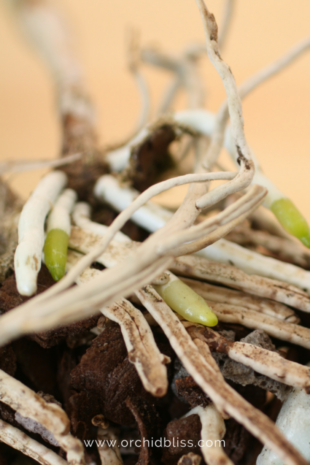orchids-emerging-roots-when-repot.png