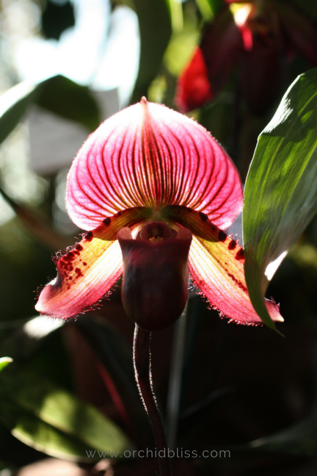 paphiopedlium-ladys-slipper-orchid-for-the-home