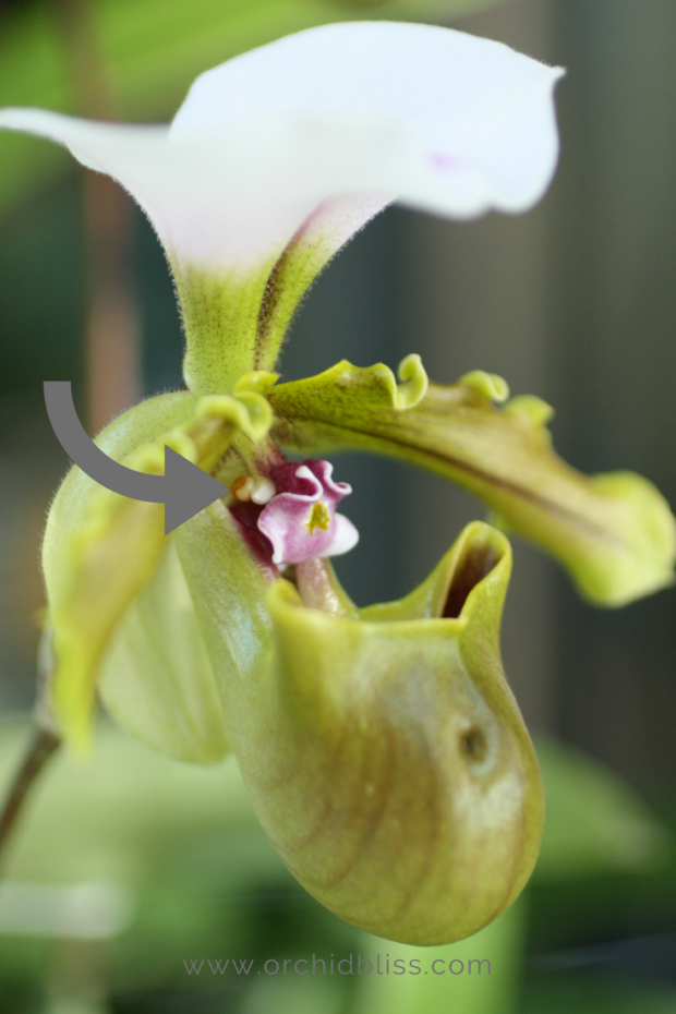 paphiopedlium-pollen-packet-orchid-facts.png