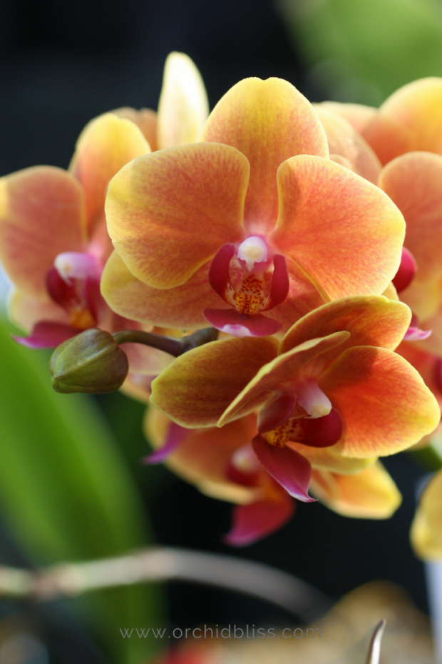 phalaenopsis-happy-in-your-home-orchid