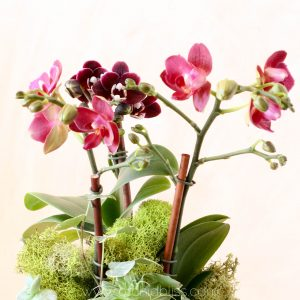 phalaenopsis - happy orchids
