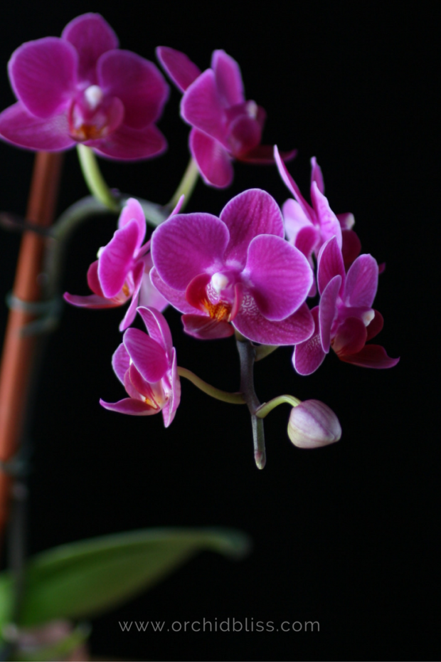 phalaenopsis-orchid-choosing-an-orchid.png