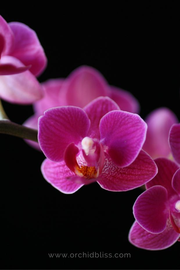 phalaenopsis-orchid-pollinate-or-die.png