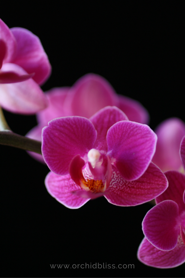 phalaenopsis.-facts-about-orchids.png