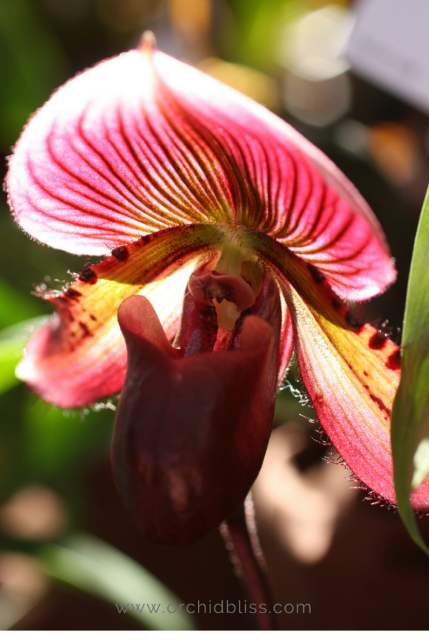 phaphiopedilum-orchid-buying-orchids.png