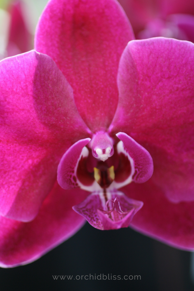 purple-phalaenopsis - what temperature do orchids like