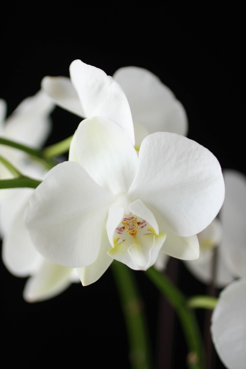 white phalaenopsis orchid - easy growing