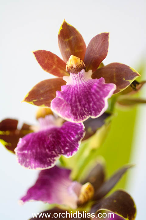 zygopetalum - fragrant beginner orchid