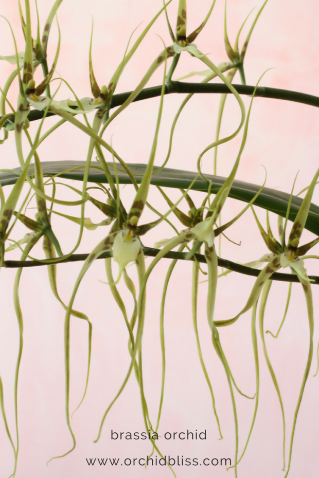 Brassia-orchids-require-moderate-light-in-the-home-orchid-care.png