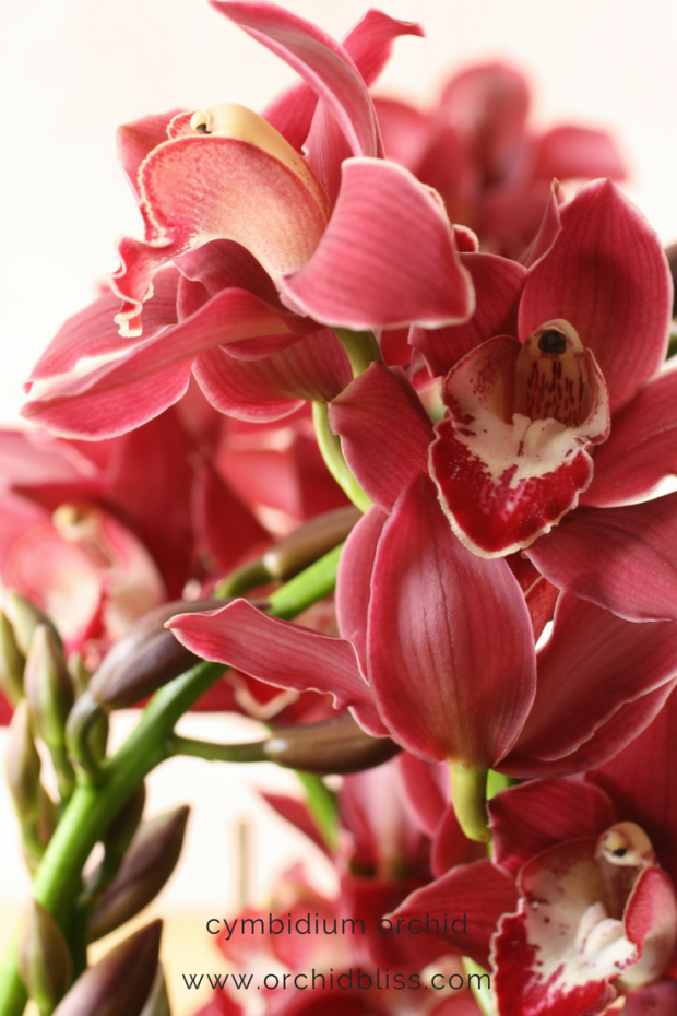 Cymbidium-orchids-have-high-light-requirements-caring-for-orchids-at home.png