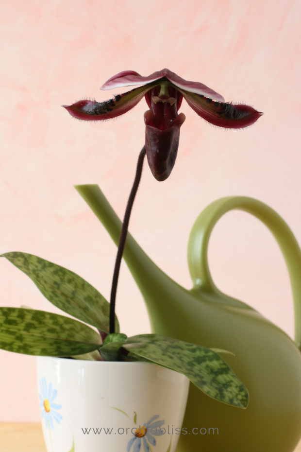 Mastering-watering-is-the-most-important-factor-for-orchid-care-in-the-home.png